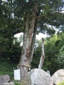 67番札所大興寺小松尾寺のカヤ