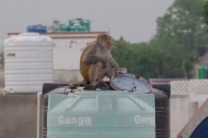 猿が闊歩する町アグラ