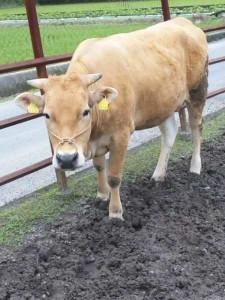 土佐の褐牛