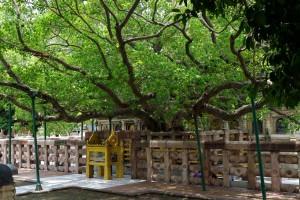マハーボディー寺院の菩提樹