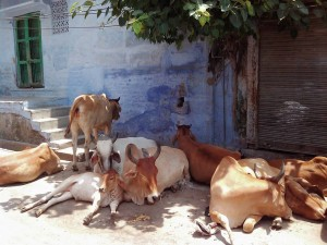 ジョードプルの野良牛たち